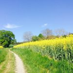 field-of-rapeseeds-331571_1920