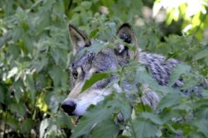 wolf-1341082_1920