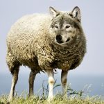 lobo pele cordeiro