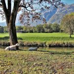 sheep-3739067_1920
