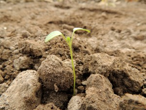 planta semente brotando